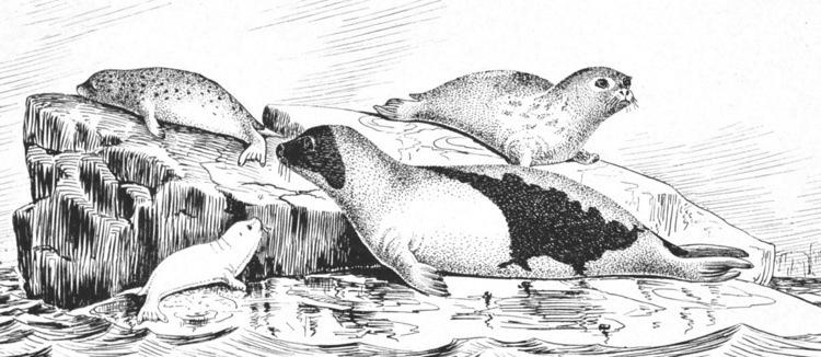 Harp seal or Phoca groenlandica (1887)